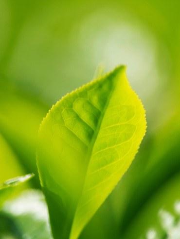 Grønne teer